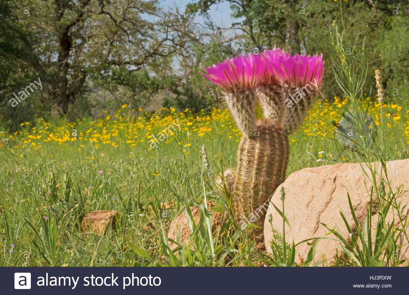 An image of a Lace Cactus (Echinocereus reichenbachii), also known as Hedgehog Cactus, in a field of wildflowers - Stock Image