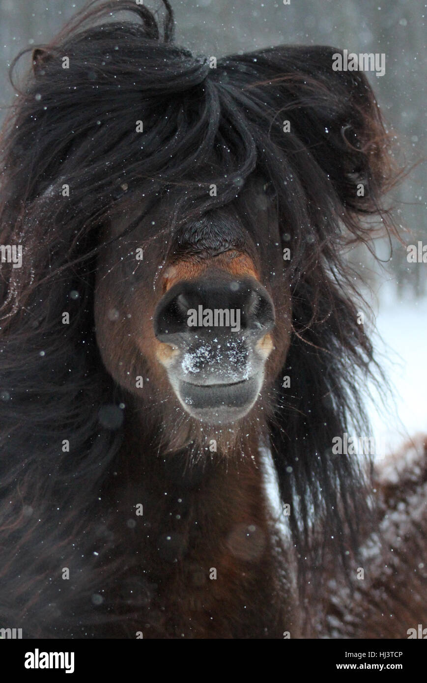 An Icelandic stallion shakes away his long forelock to see - Stock Image