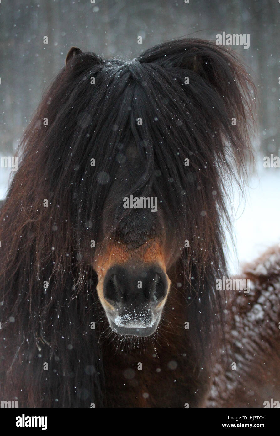 An Icelandic horse stallion with a huge forelock poses on a snowy day - Stock Image