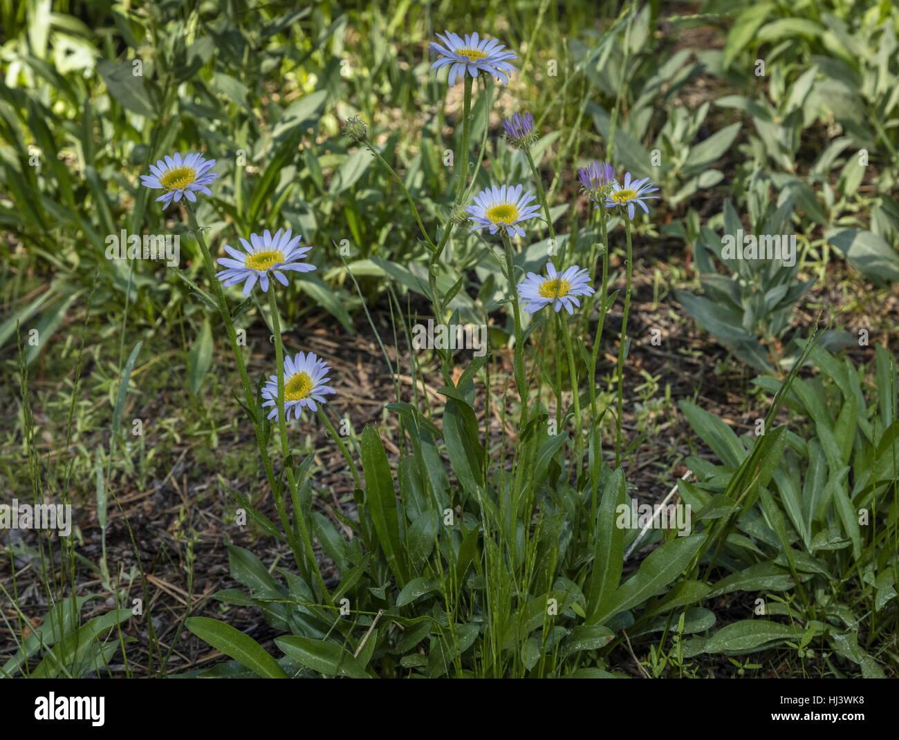 Wandering fleabane, Erigeron glacialisvar. glacialis(formerly Erigeron peregrinus) in flower, Sierra - Stock Image
