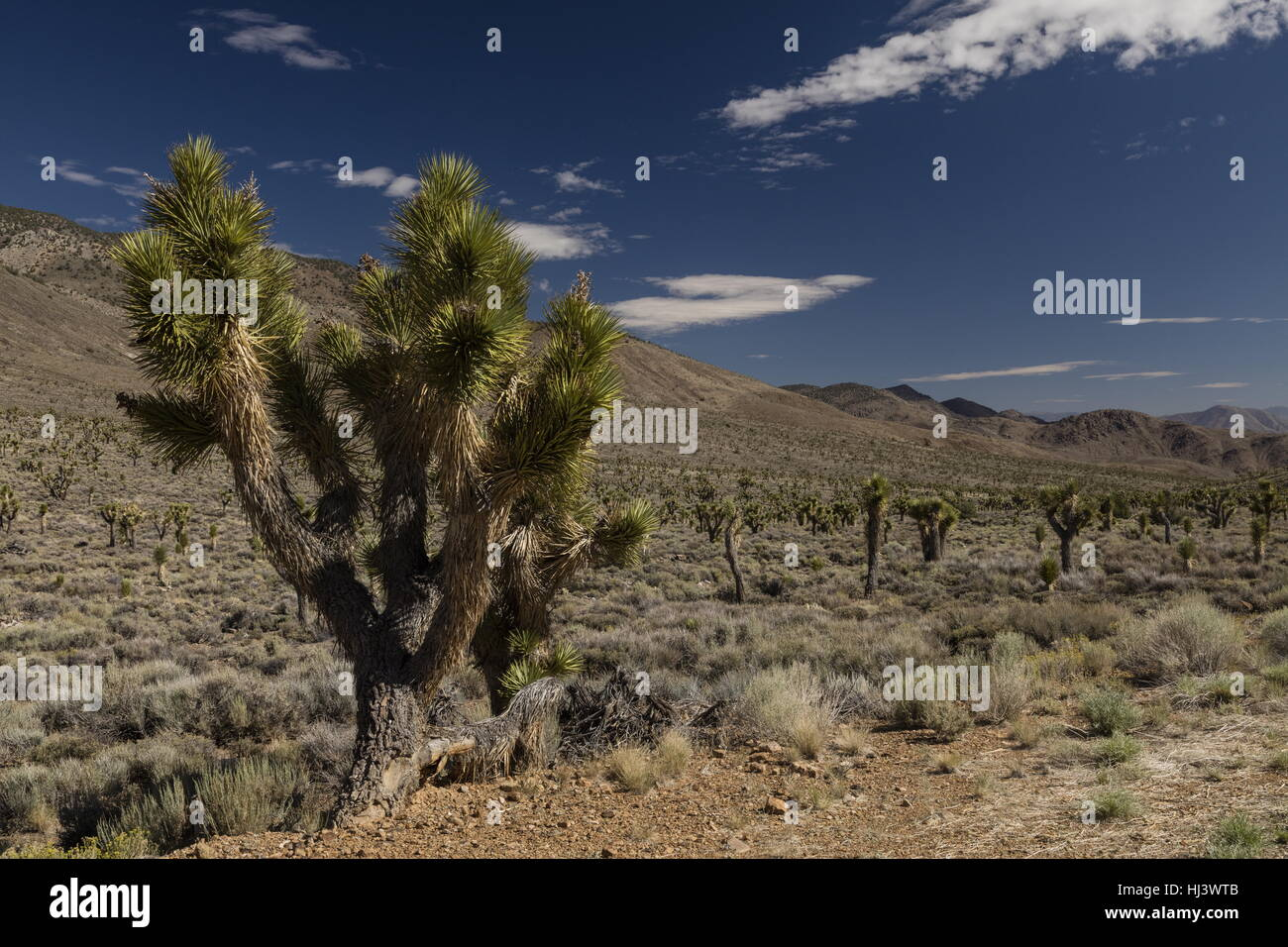 Joshua trees, Yucca brevifolia in the upper Eureka Valley, Death Valley National Park, California. - Stock Image