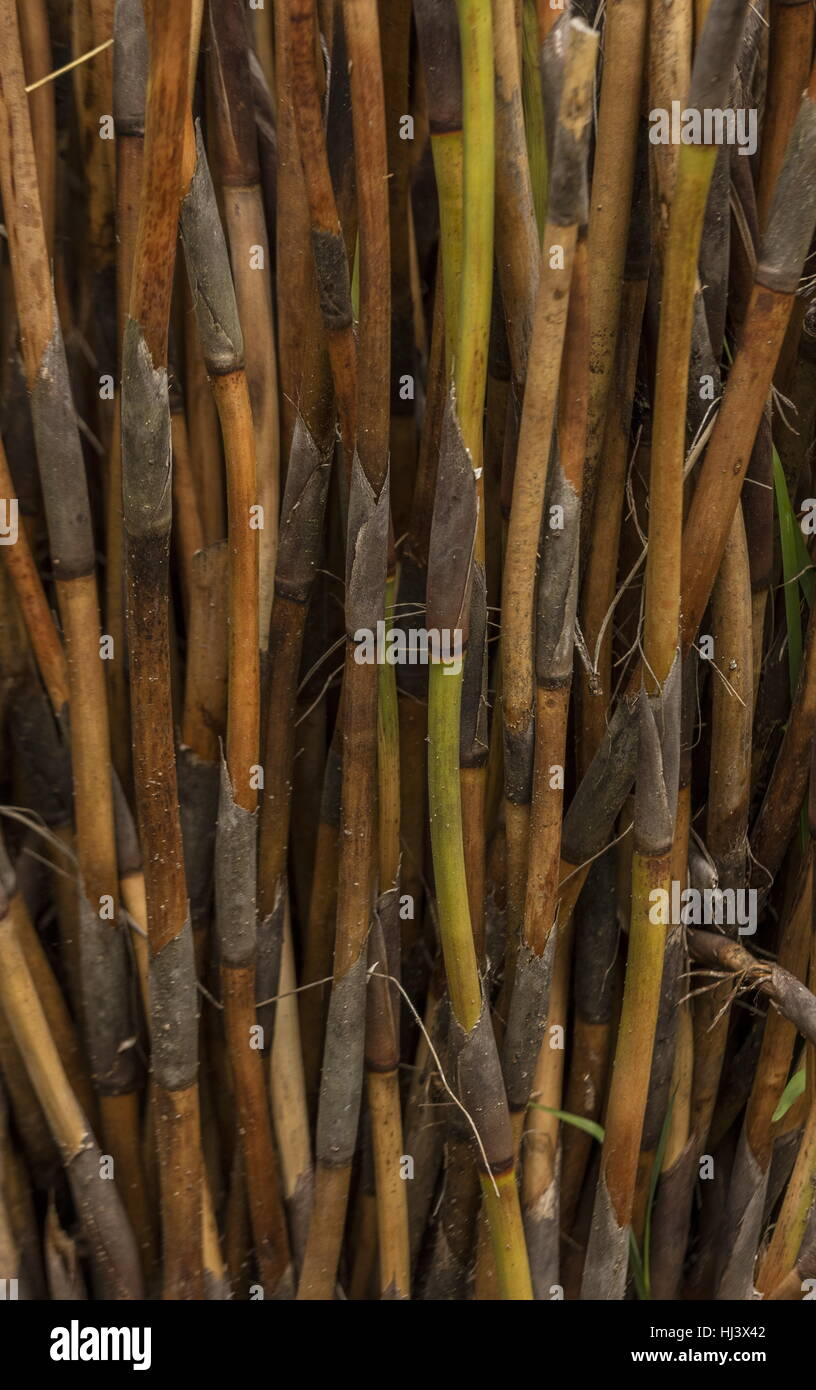 Mikado Stems, Rhodocoma capensis, one of the Restionaceae, from South Africa. - Stock Image