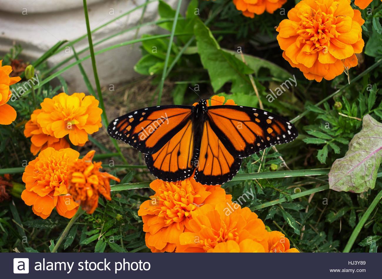 578b70c2b Monarch Butterfly on an orange marigold flower Stock Photo ...