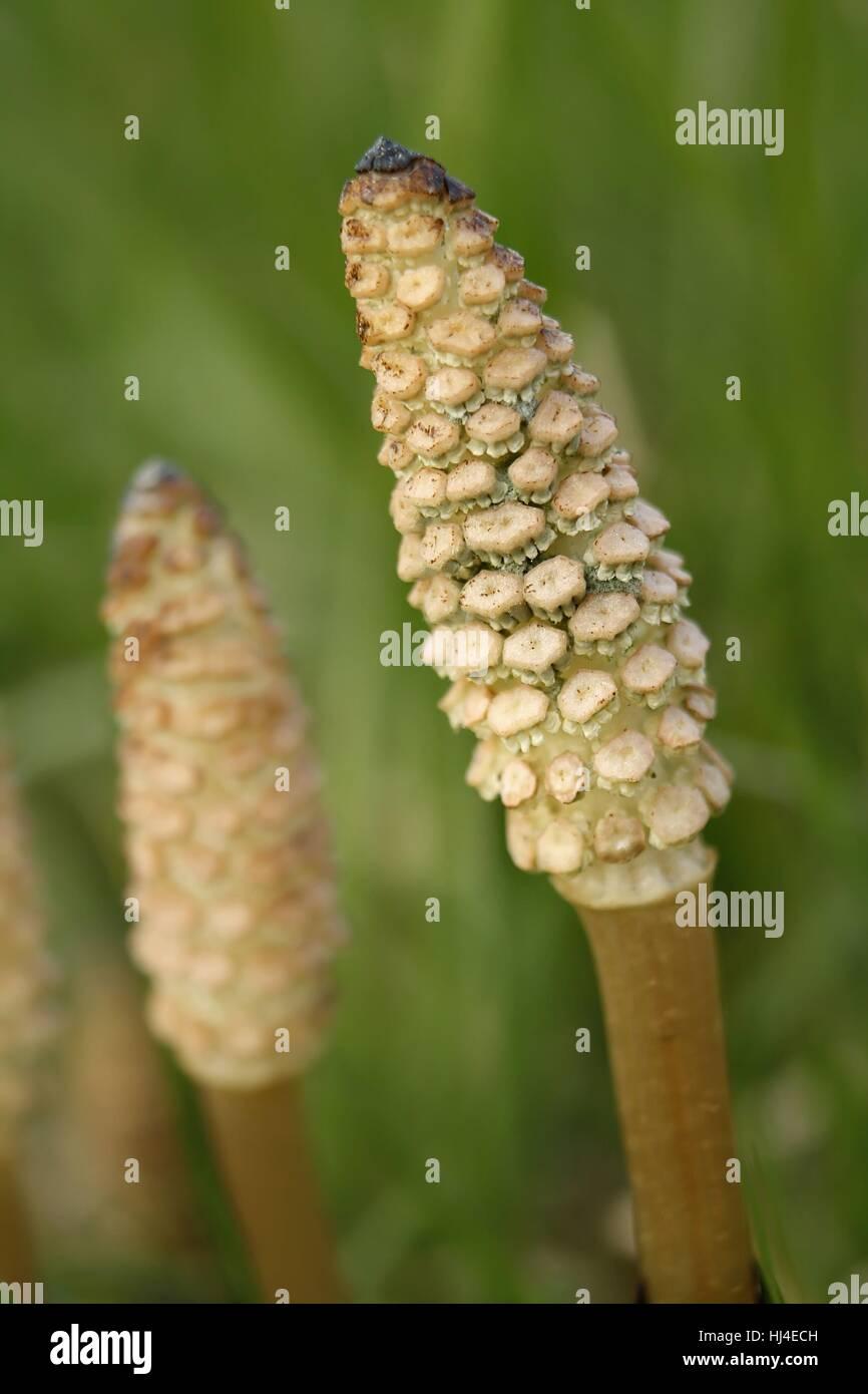 horsetail / common horsetail Stock Photo