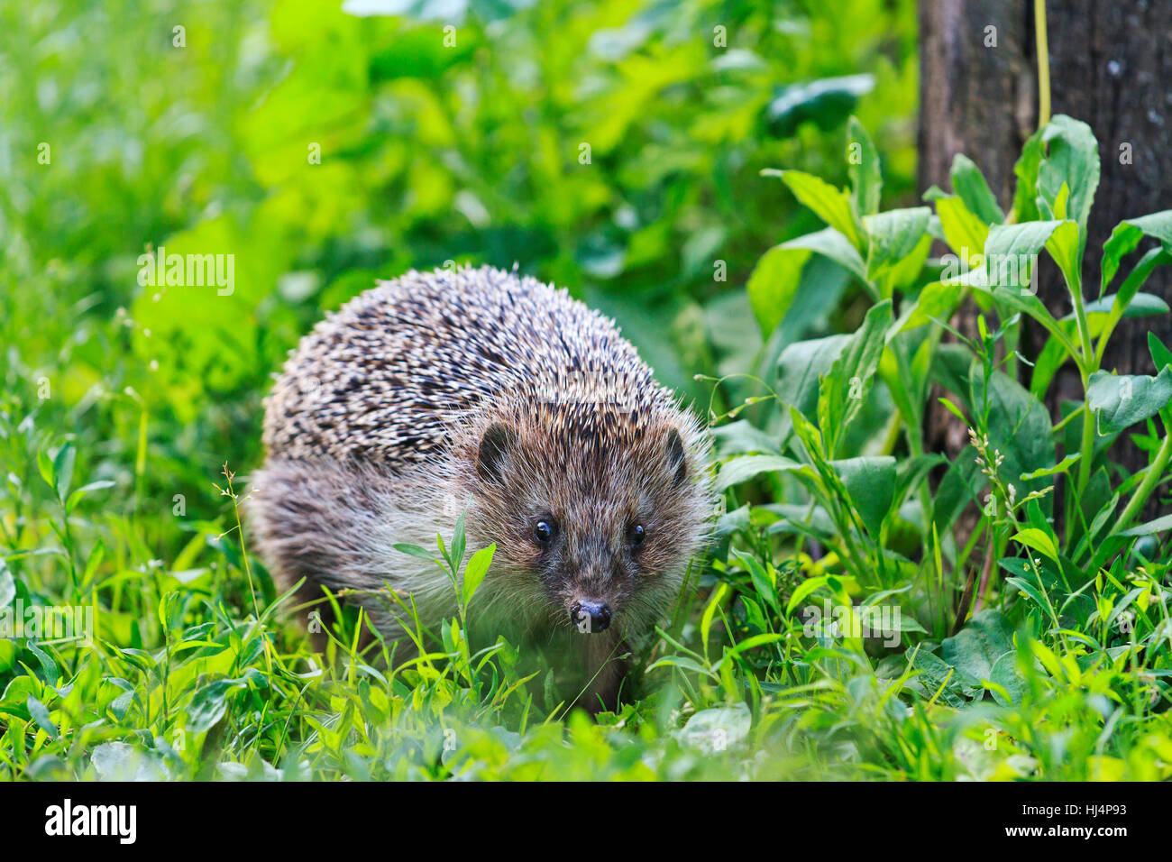 Hedgehog among the green grass in the garden,animals, animal barbed needles, mammals - Stock Image