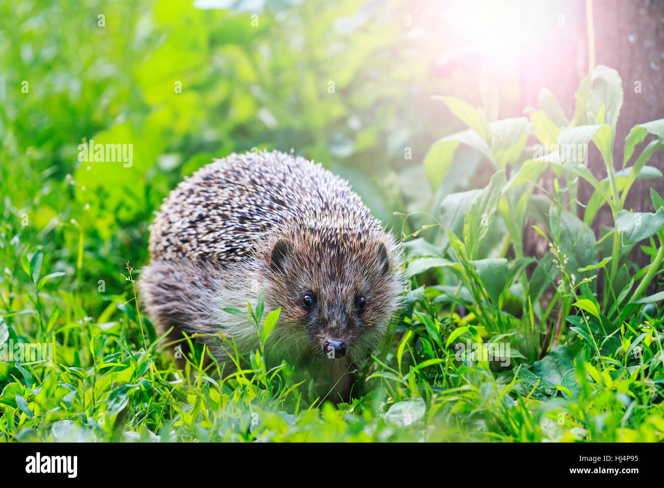 Hedgehog among the green grass in the garden with sunny hotspot,animals, animal barbed needles, mammals - Stock Image