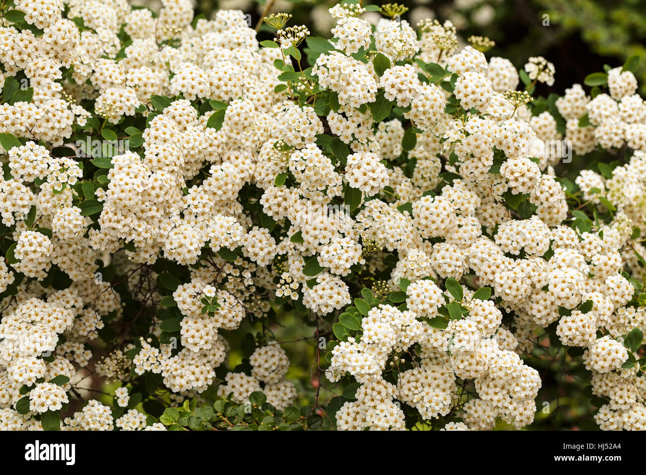 Bush with small white flowers on a branches in nature note shallow bush with small white flowers on a branches in nature note shallow depth of field mightylinksfo