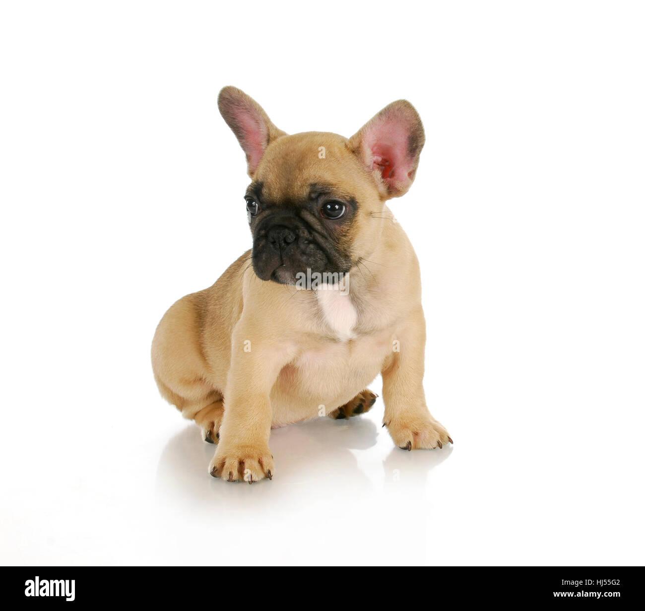 Cute Puppy French Bulldog Sitting On White Background 8 Weeks