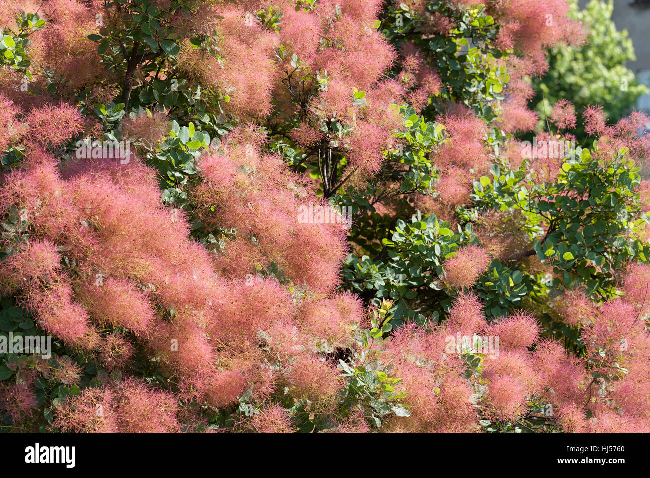 Fluffy Tree Pink Flowers Note Stock Photos Fluffy Tree Pink