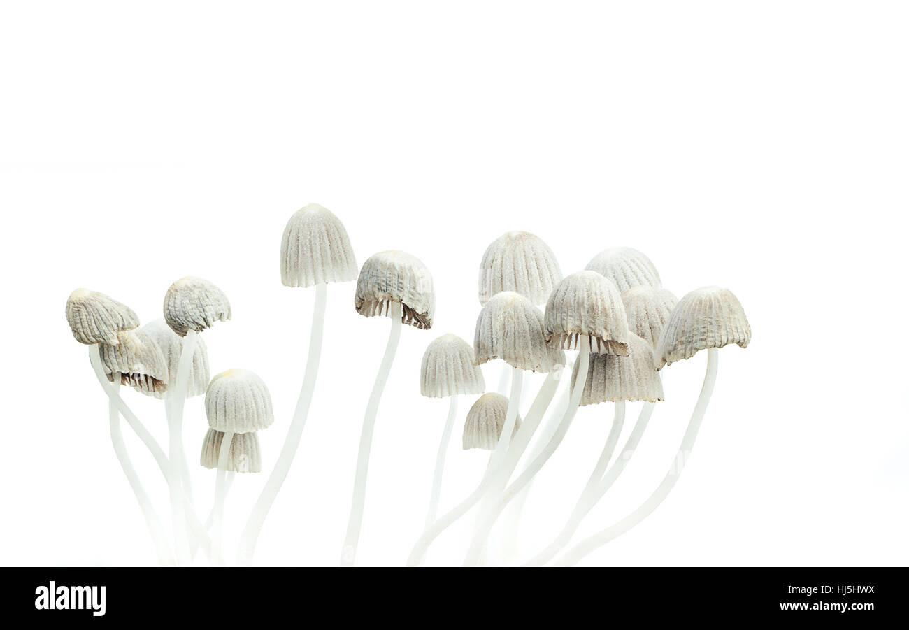 Hallucinogenic mushrooms, Psilocybe mexicana psychedelic mushroom - Stock Image