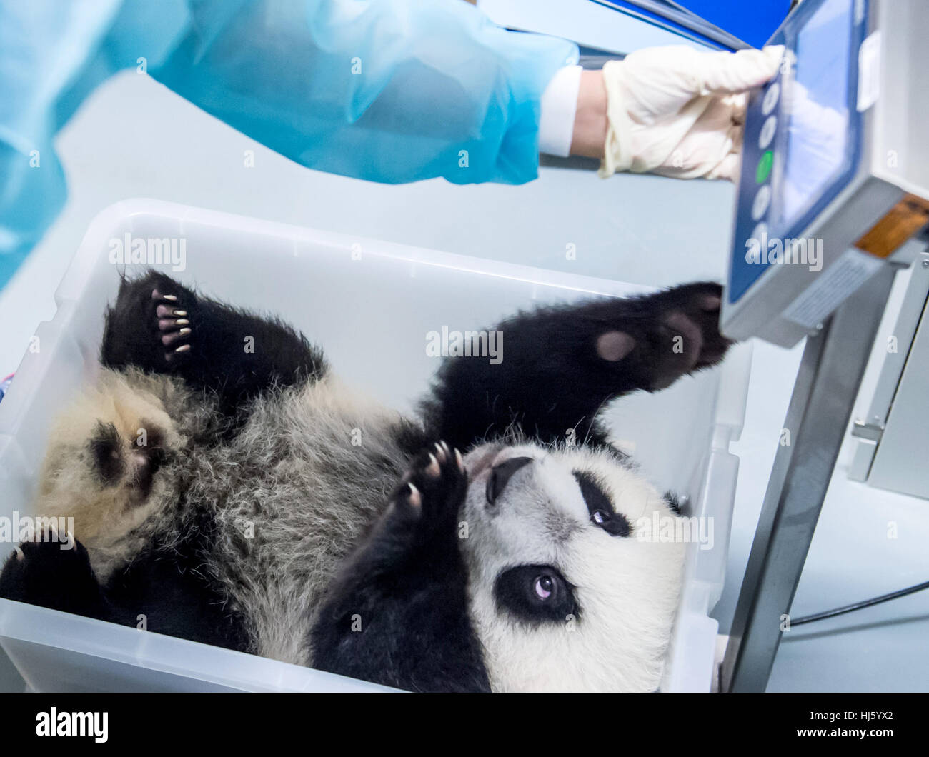 Beijing, China. 11th Jan, 2017. A keeper weighs giant panda Kangkang in Macao Special Administrative Region (SAR), - Stock Image