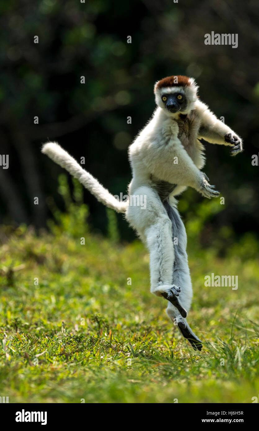 A Verreaux Sifaka Lemur leaping bipedally in a forward and sideways movement in open space of dry-forest of Madagascar, - Stock Image