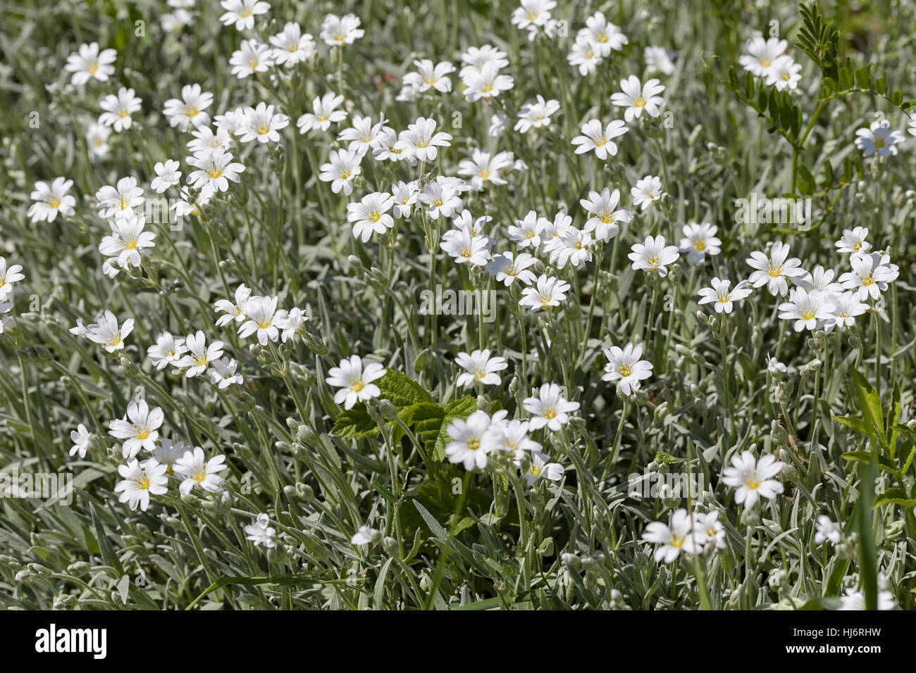Kinds Of White Small Flowers In The Meadow Note Shallow Depth Of