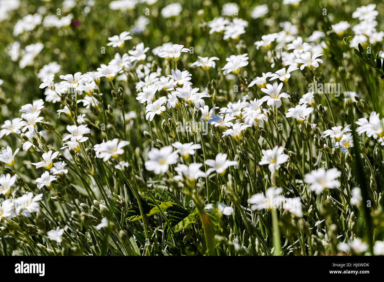 Kinds of white small flowers in the meadow note shallow depth of kinds of white small flowers in the meadow note shallow depth of field mightylinksfo