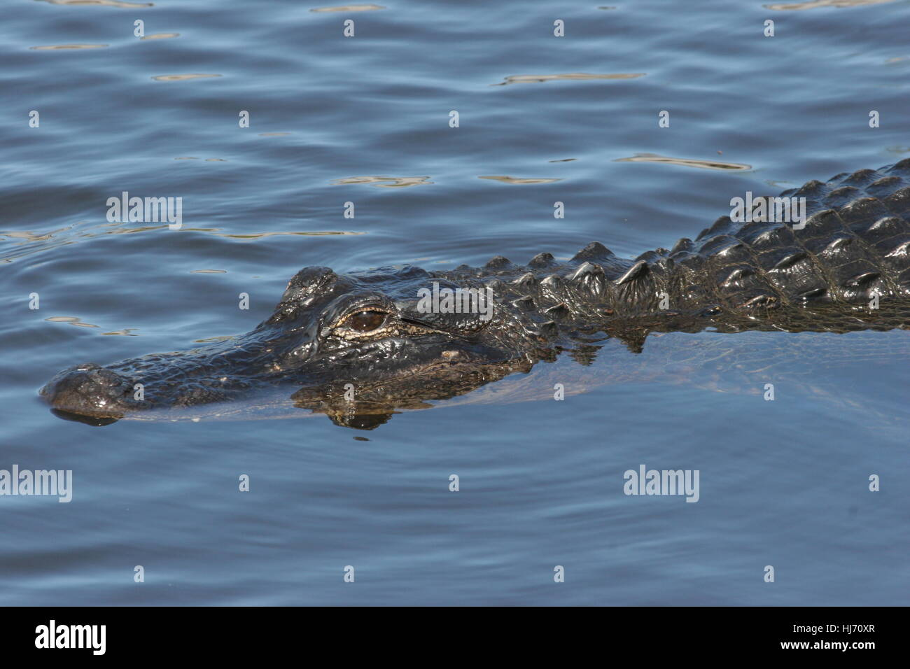 animal, wild, swamp, crocodile, reflection, amphibians, rare, wildlife, - Stock Image