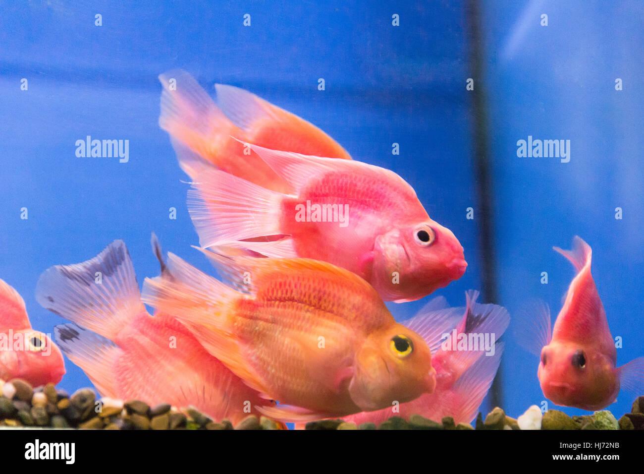 Photo Of Aquarium Fish Parrot Cichlid In Freshwater Stock Photo