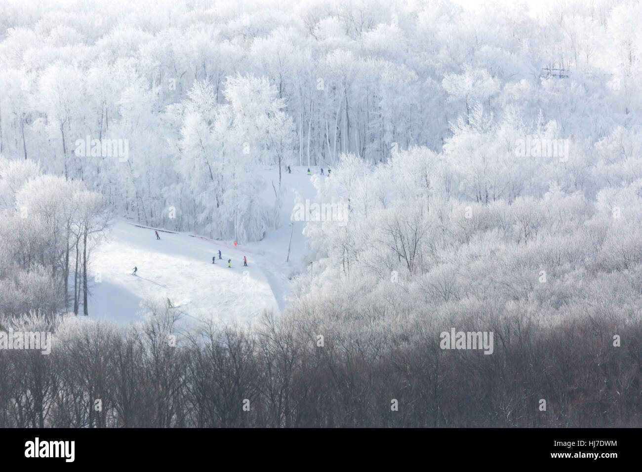 People downhill skiing surrounded by a frost covered woods in January. - Stock Image