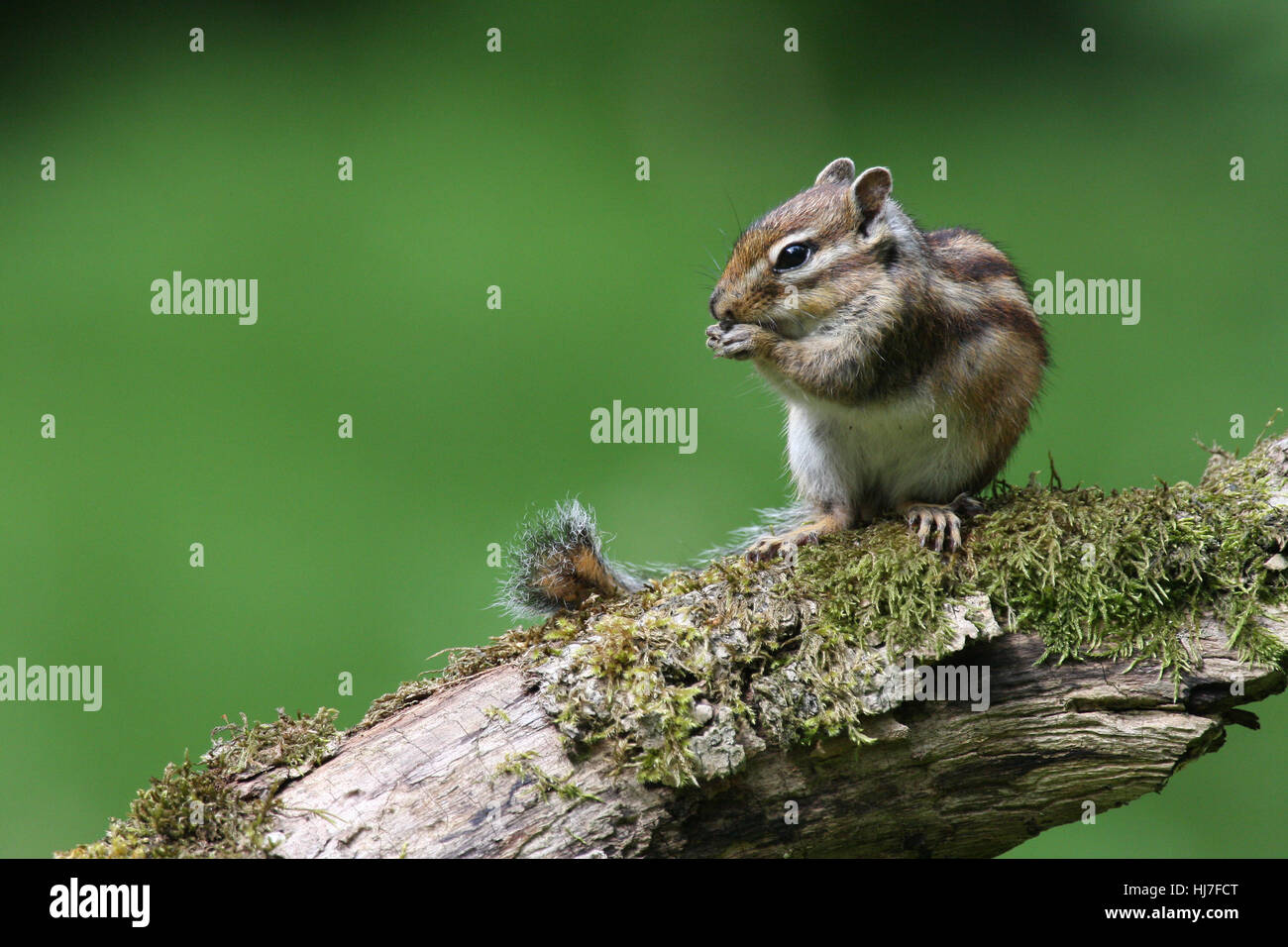 rodent, wildlife, squirrel, gnaw, maddening, pert, coquettish, cute, eating, - Stock Image