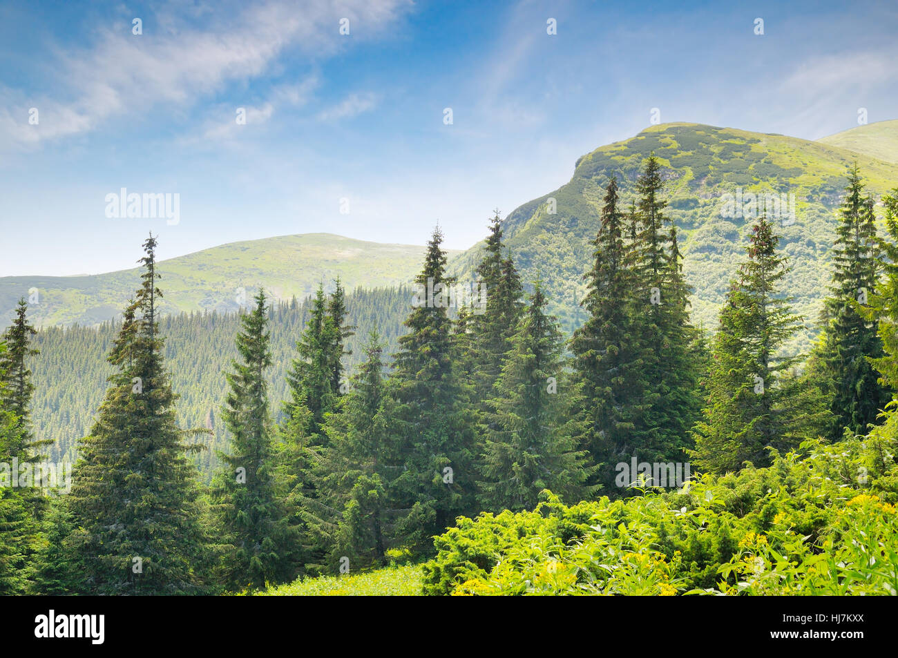 spruce forest on the hillside - Stock Image