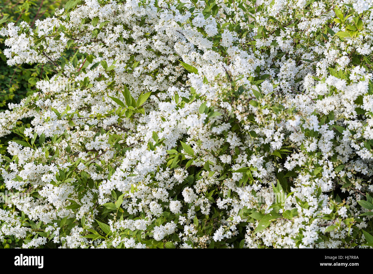 Bush With Small White Flowers On A Branches Note Shallow Depth Of