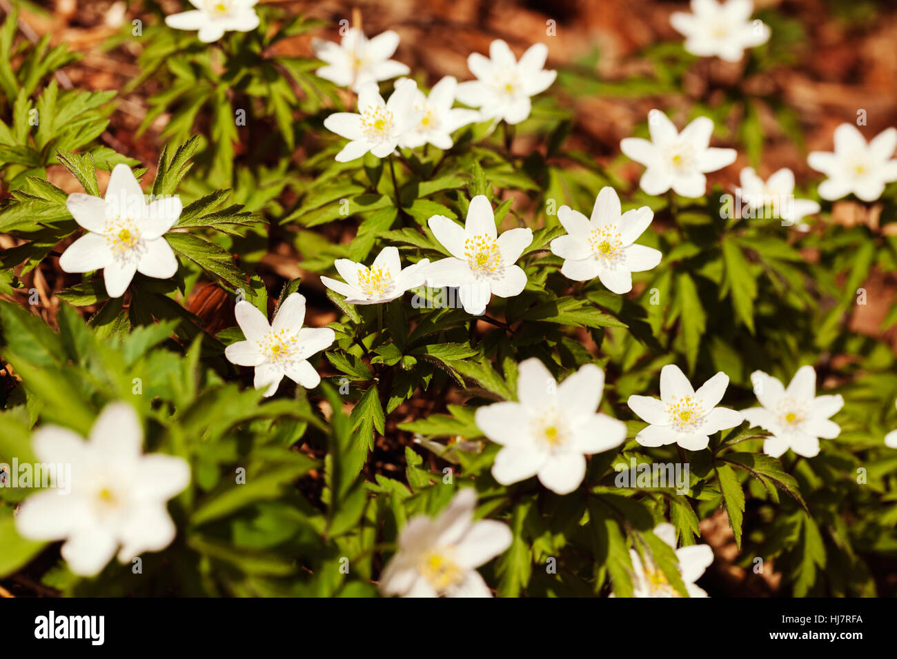 White Starlike Flowers In Nature Note Shallow Dept Of Field Stock