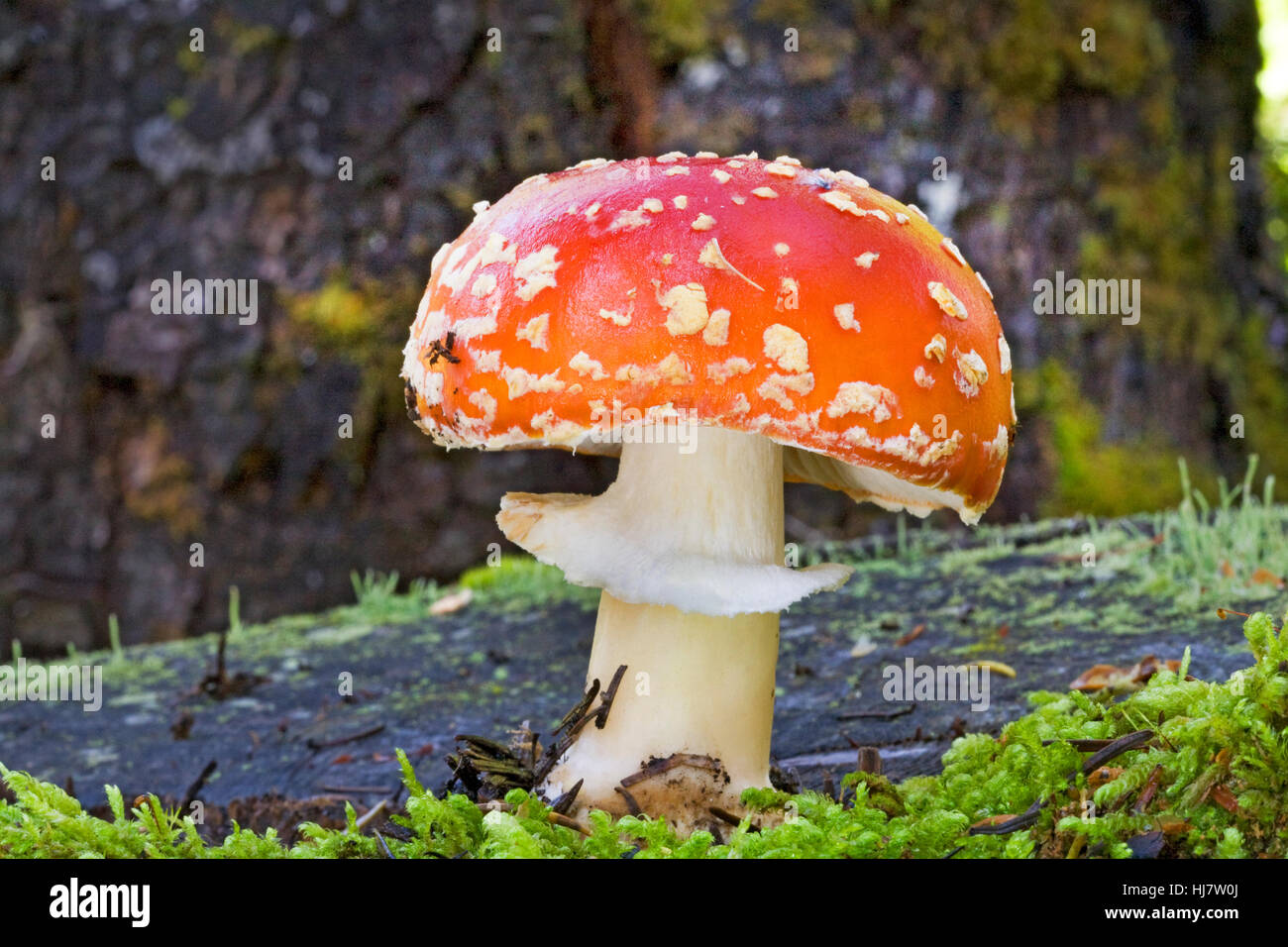 Amanita muscaria, commonly known as the fly agaric or fly amanita, is a poisonouso mushroom. It  is a hallucinogen - Stock Image