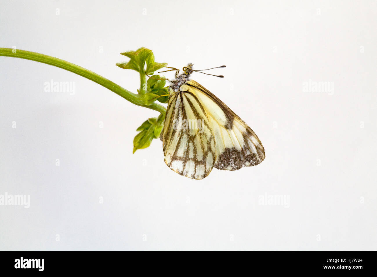 A white pine butterfly, Neophasia menapia, landed on a vine. - Stock Image