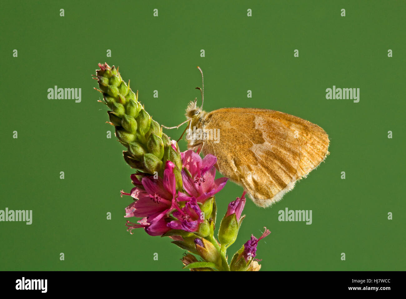 An Ochre Ringlet butterfly, Coenonympha tullia insulana, on a wildflower. - Stock Image