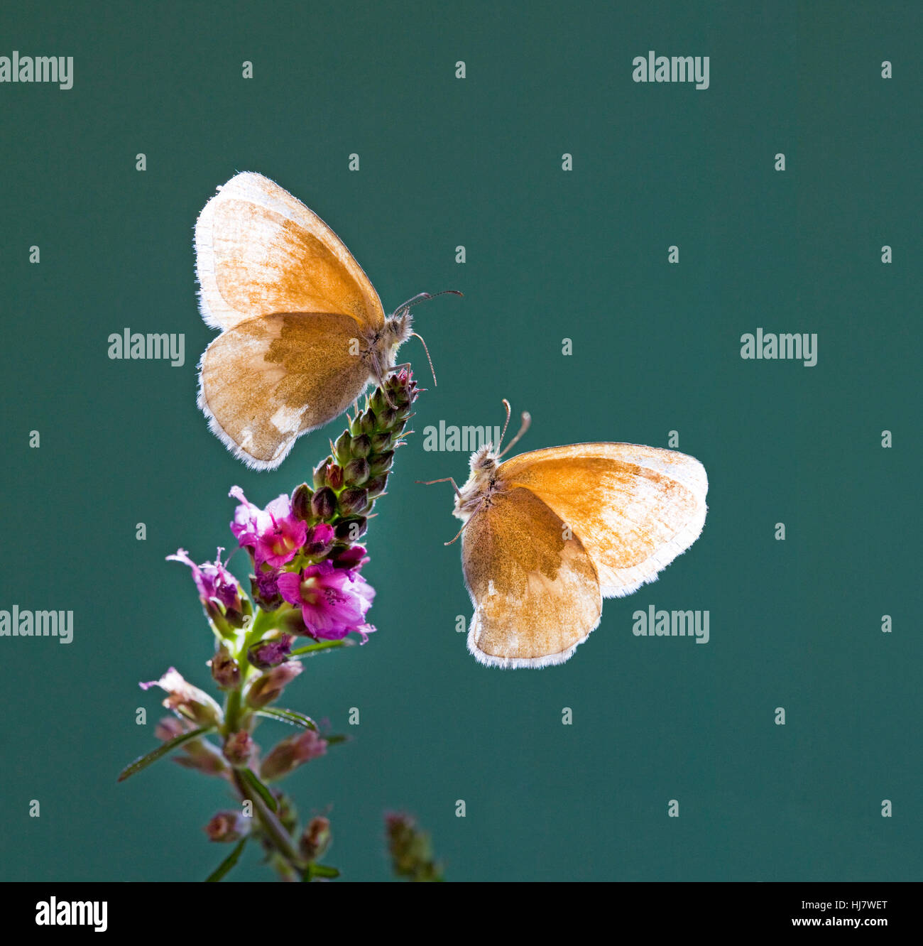A pair of Ochre Ringlet butterflies, Coenonympha tullia insulana, on a wildflower. - Stock Image
