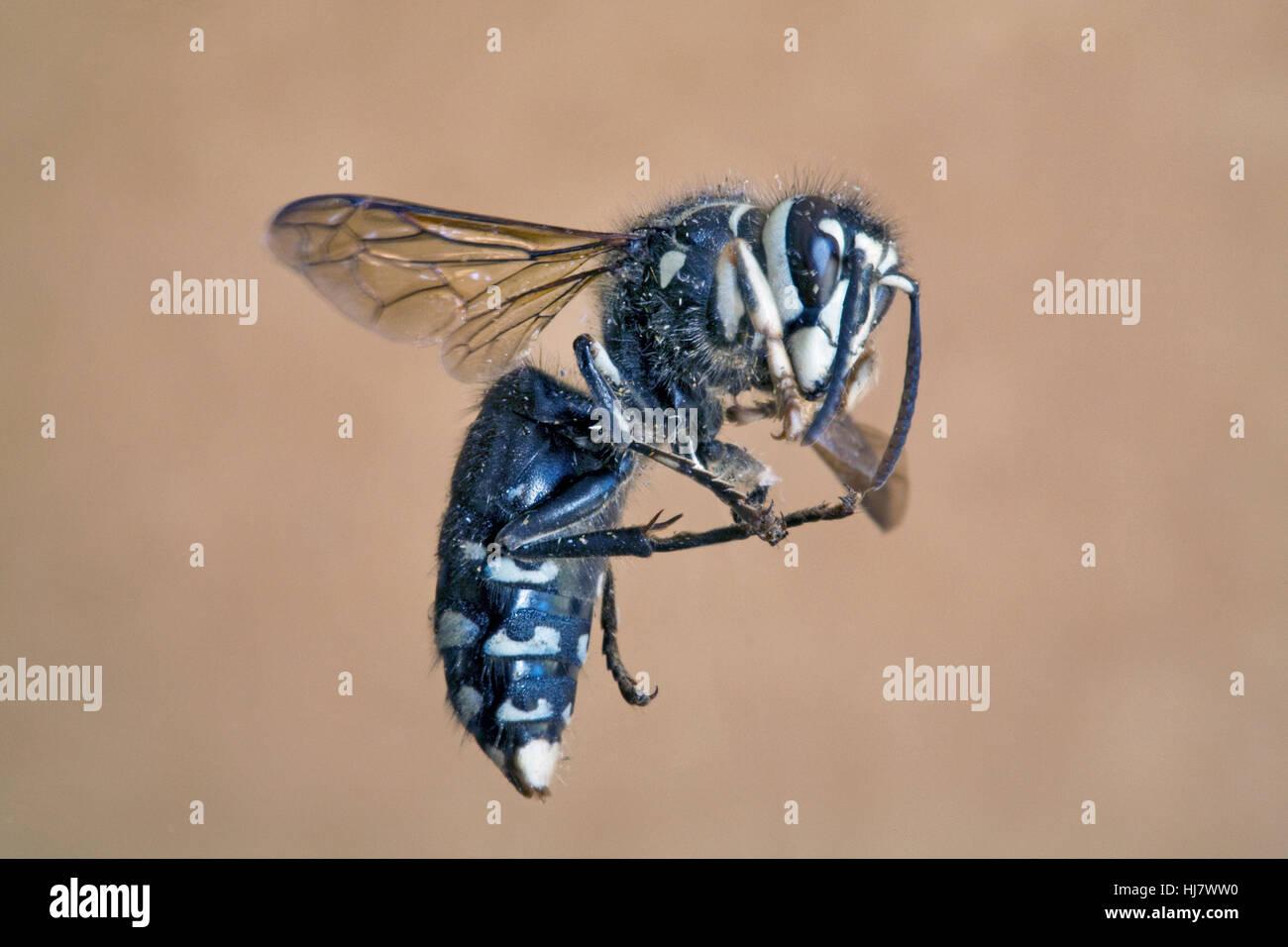A bald-faced hornet, Vespula maculata, in flight - Stock Image
