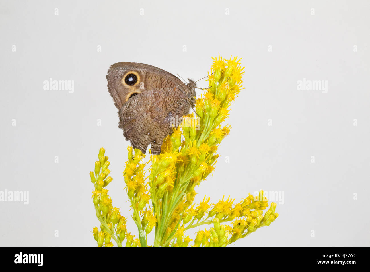 A common wood nymph butterfly, Cercyonis pegala, on a brightly colored wildflower along the Metolius River in Oregon - Stock Image
