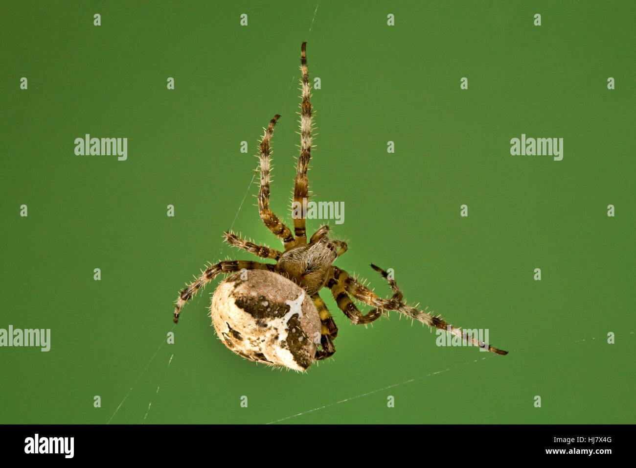 A cross orbweaver spider, Araneus diadematus, in her web Stock Photo