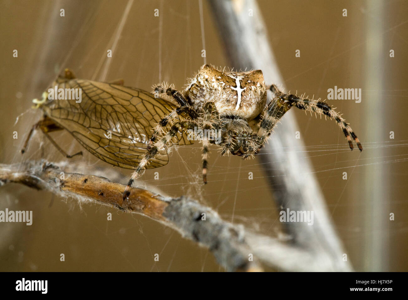 A cross orbweaver spider, Araneus diadematus, in her web with a golden stonefly she captured. - Stock Image