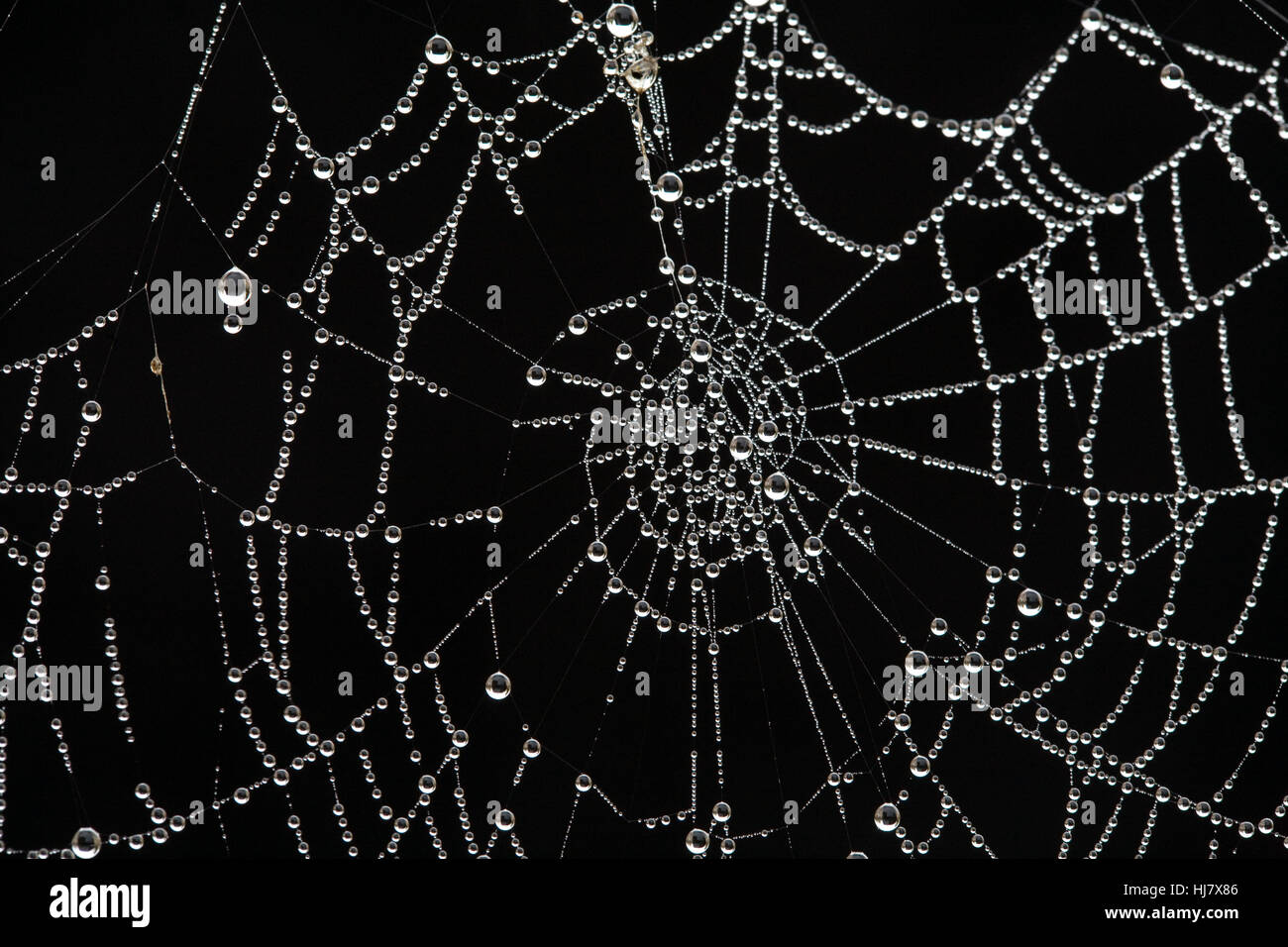 The web of a cross orbweaver spider, Araneus diadematus, covered with dew on a frosty october morning. - Stock Image
