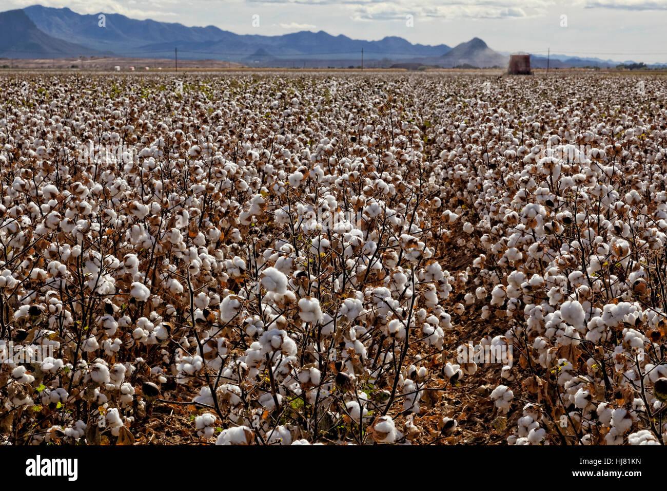 Cotton Ready for Harvest - Farming - Marana, Arizona - Stock Image