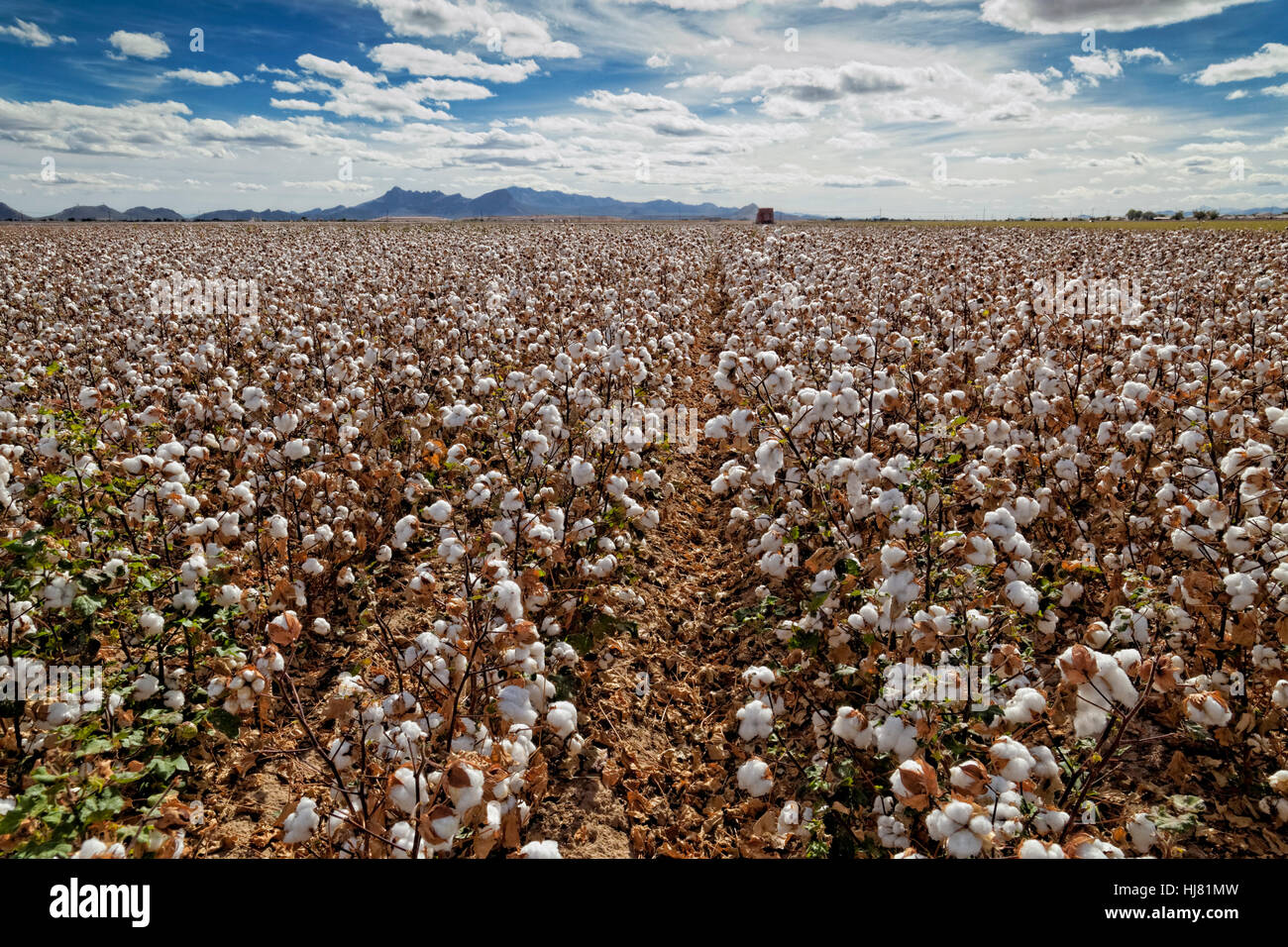 Cotton Harvest - Farming - Marana, Arizona - Stock Image