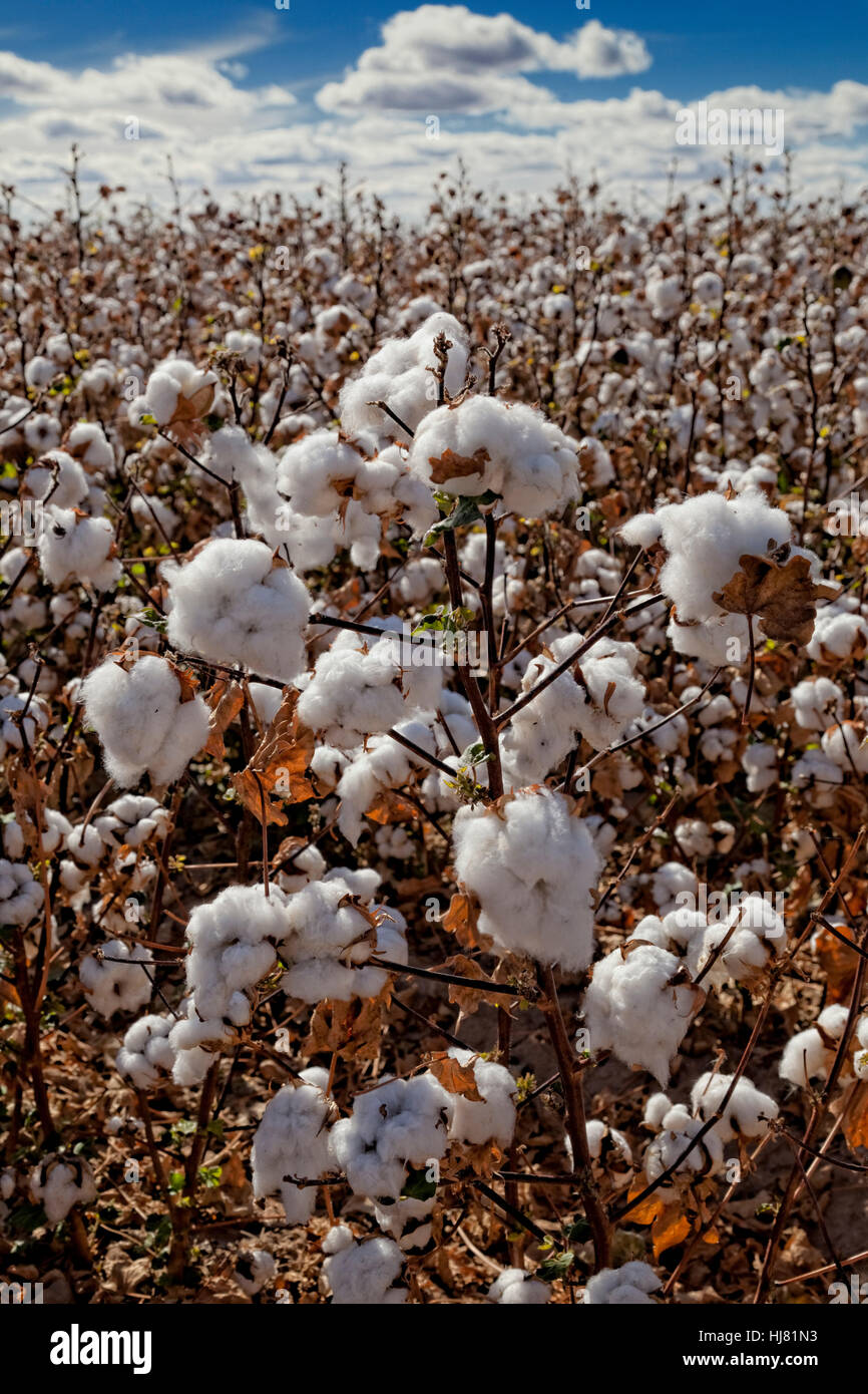 Cotton Ready for Harvest - Farming - Marana, Arizona - Stock Image