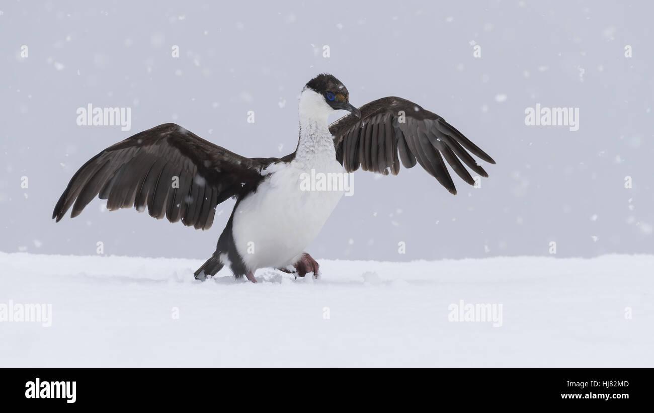 Antarctic Shag close up - Stock Image