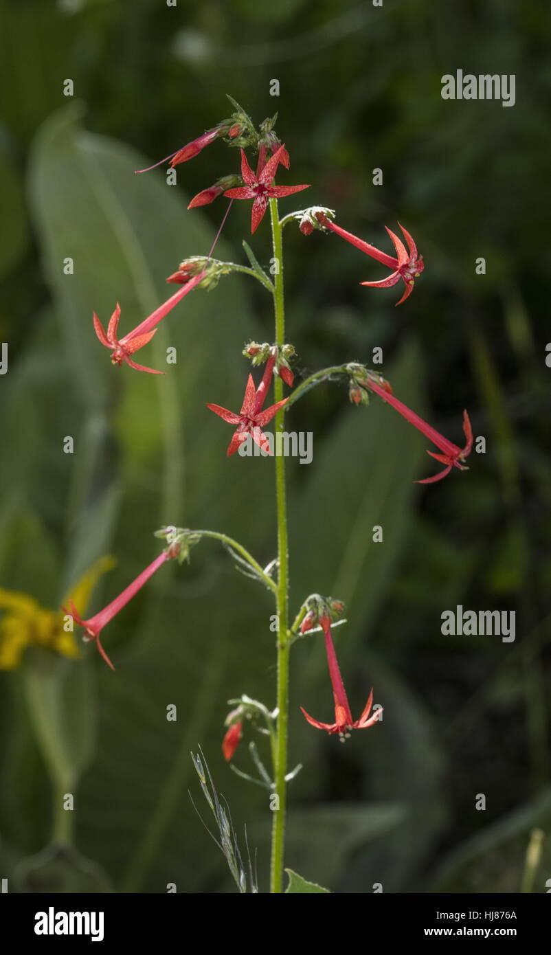 Scarlet gilia, Ipomopsis aggregata, in flower, aspen woodland, Sierra Nevada. - Stock Image