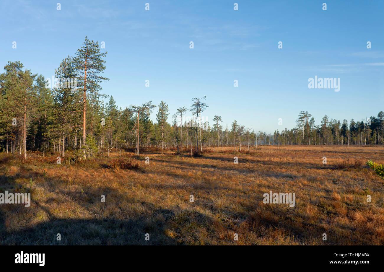Forest in Finnish Taiga, Kuhmo, Kainuu, North Karelia, Finland - Stock Image