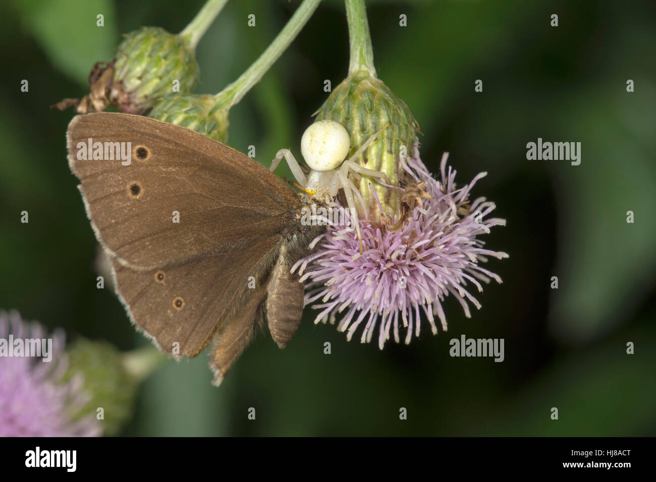 Crab spider (Misumena vatia) with Ringlet (Aphantopus hyperantus) as prey on creeping thistle, Baden-Württemberg, - Stock Image