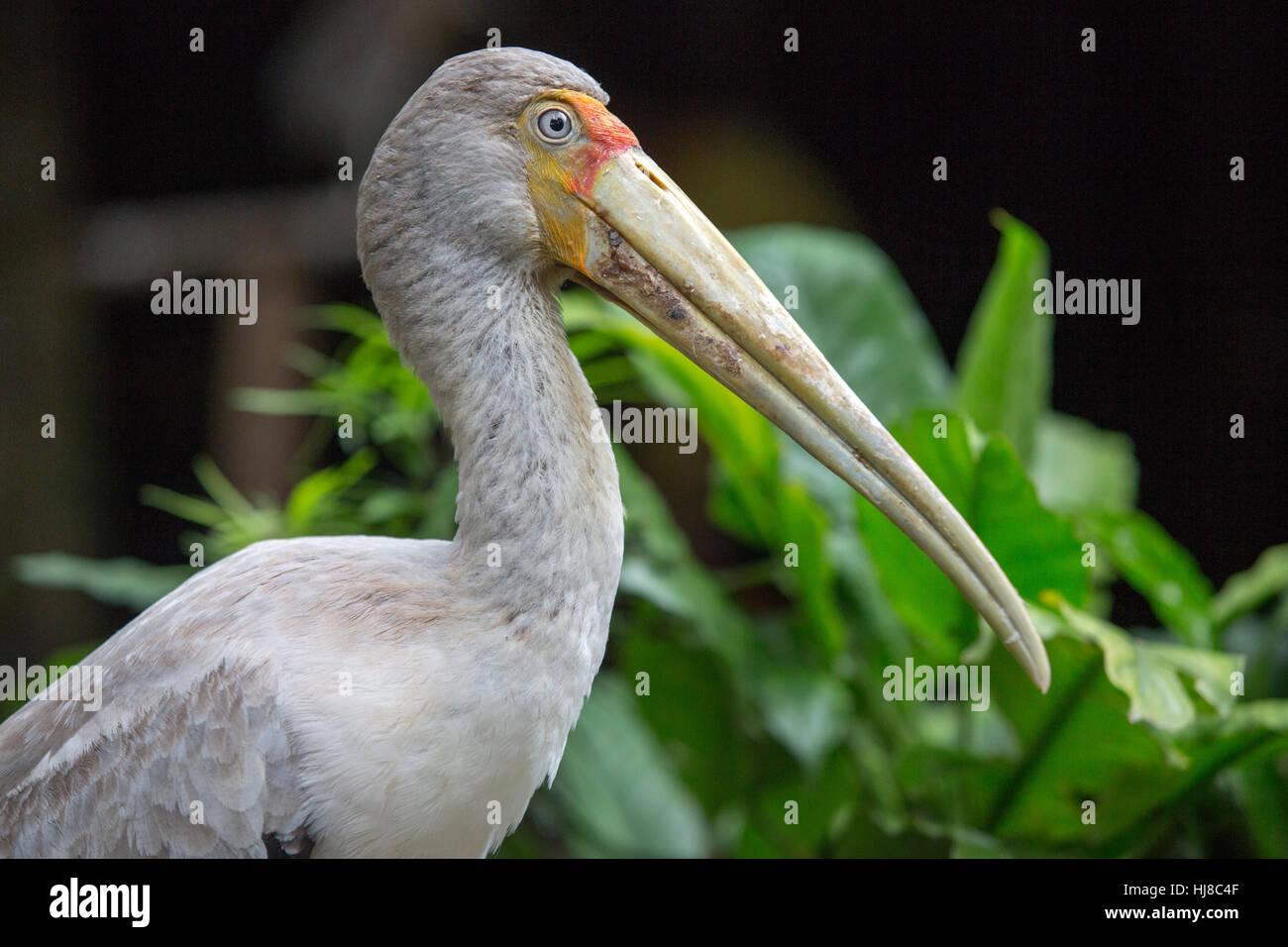 Yellow billed stork - Mycteria ibis - portrait close up - Stock Image