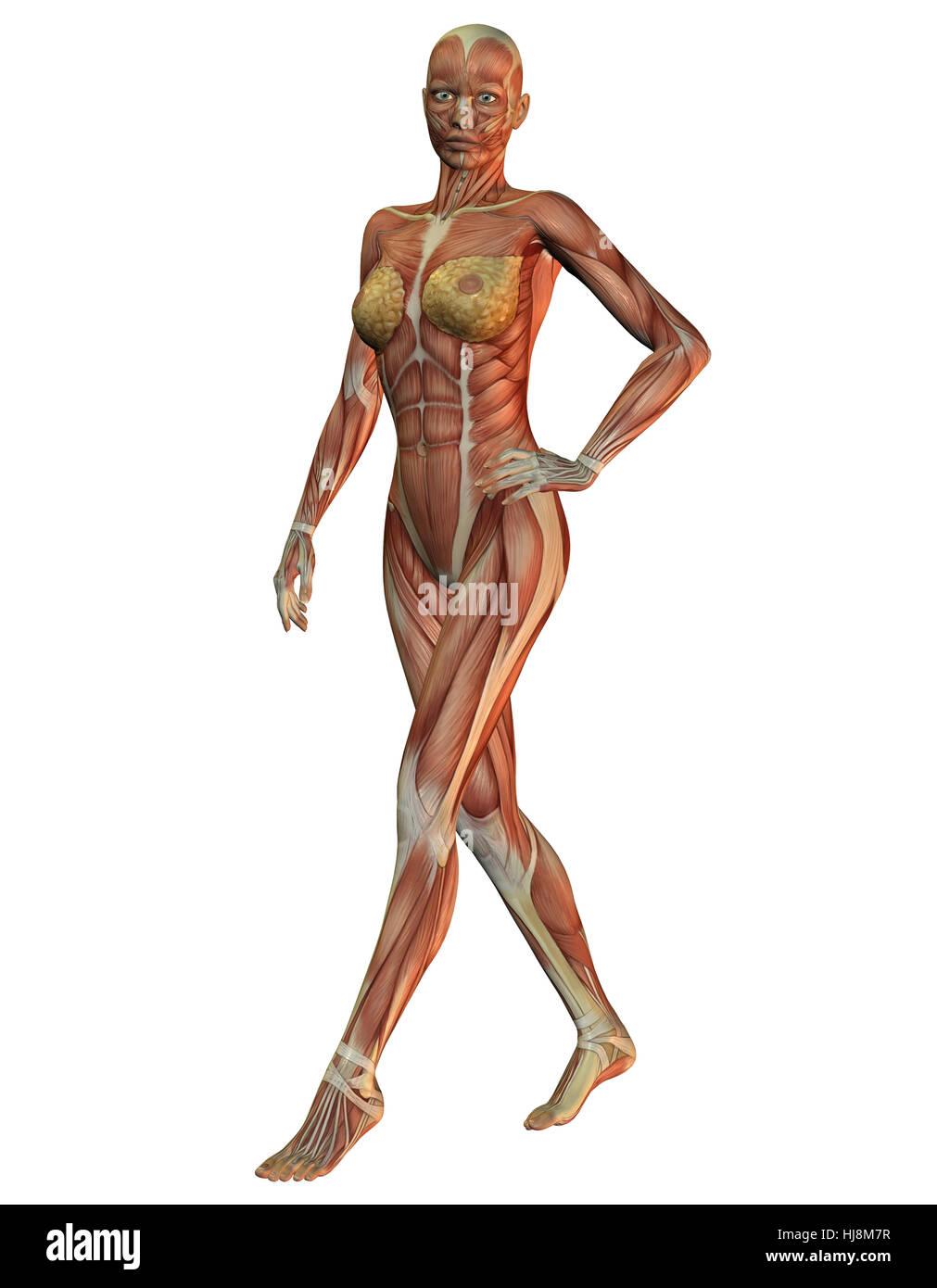 3D Rendering der Anatomie und Muskeln der Frau beim laufen Stock ...