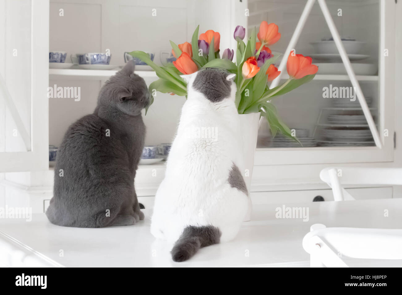 Two cats looking at tulips in kitchen - Stock Image