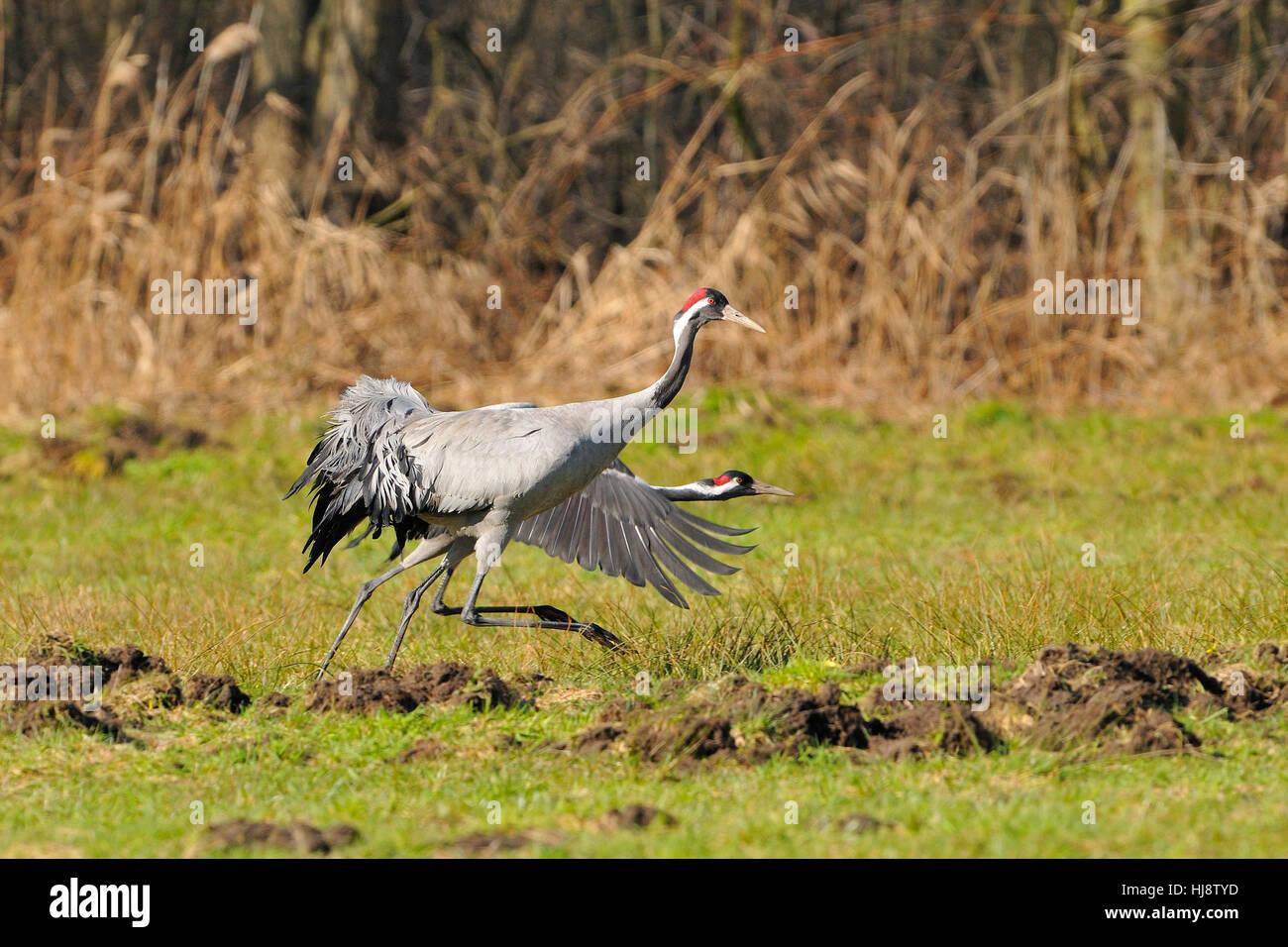 spring, crane, bird, animals, birds, location shot, spring, outside, wildlife, Stock Photo