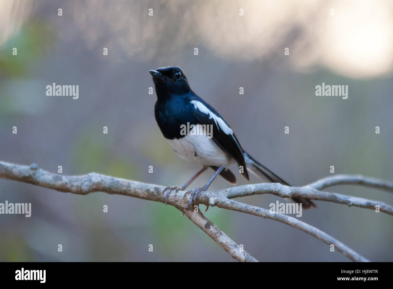 Madagascan Magpie-robin (Copsychus albospecularis) perched on a branch - Stock Image