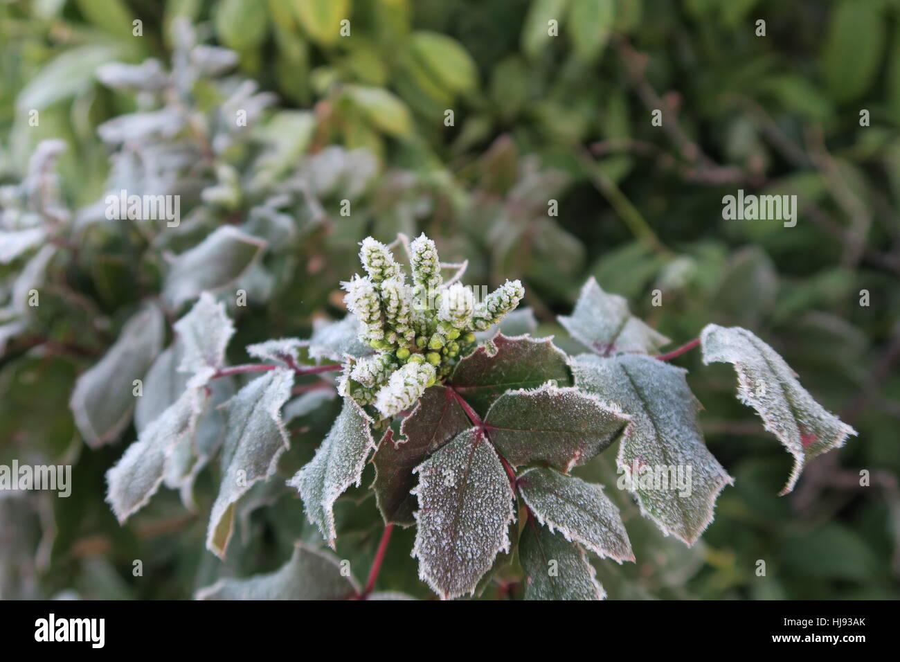 Frosted Mahonia Flowers - Stock Image