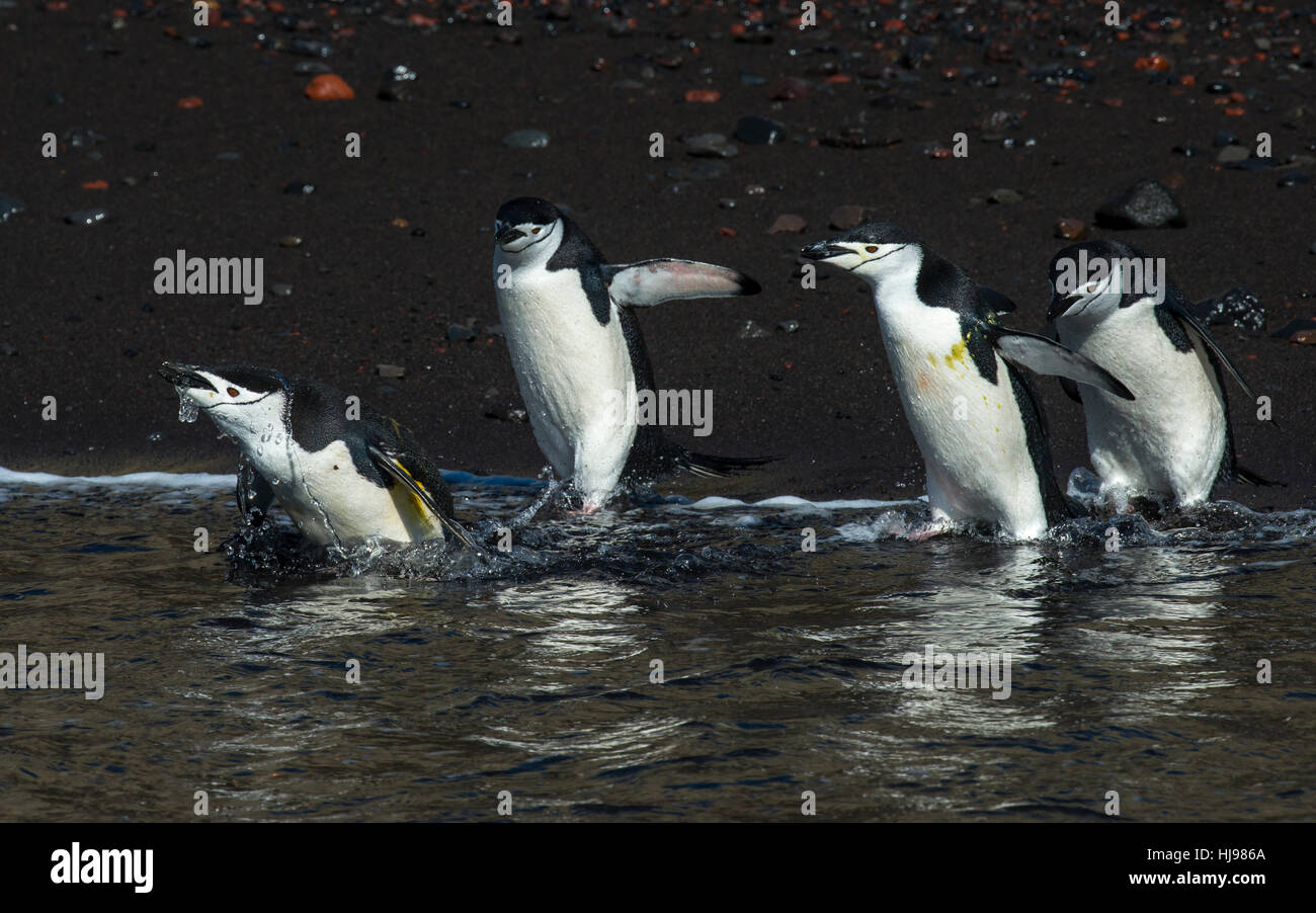 Chinstarp Penguin in the water - Stock Image