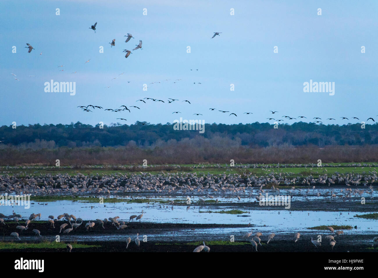 Wintering Sandhill Cranes gathering to roost at L Chua Sink, Paynes Prairie State Park, Florida - Stock Image