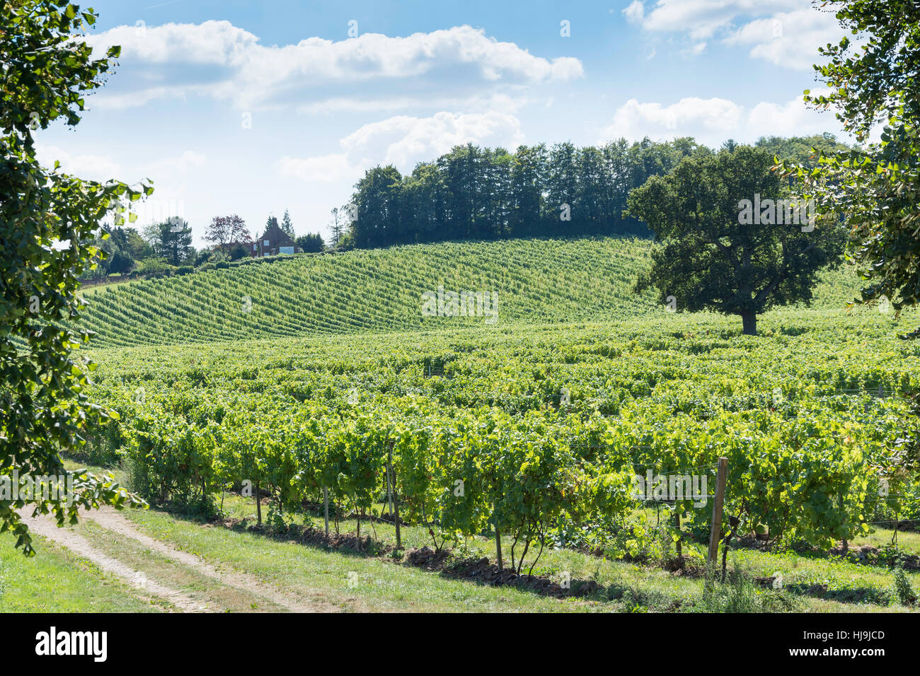 Grape vines at Denbies Wine Estate, London Road, Dorking, Surrey, England, United Kingdom - Stock Image